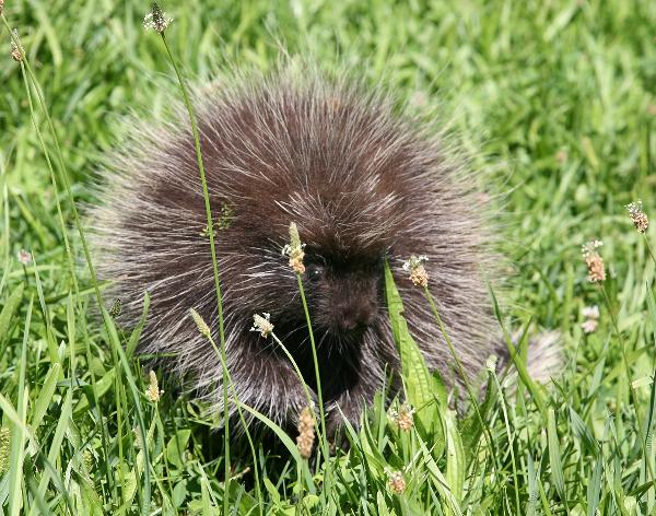 [porcupine photo]